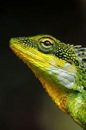 green-yellow-lizard[8]
